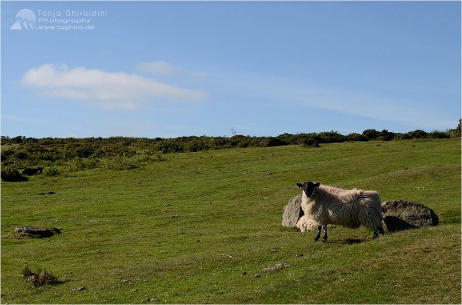 Dartmoor-11-900x595 in Dartmoor - mystisch und unwiderstehlich schön...